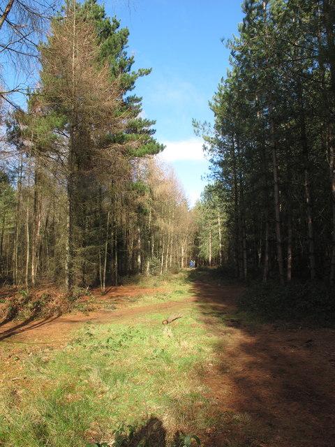 Track through conifers, Black Park
