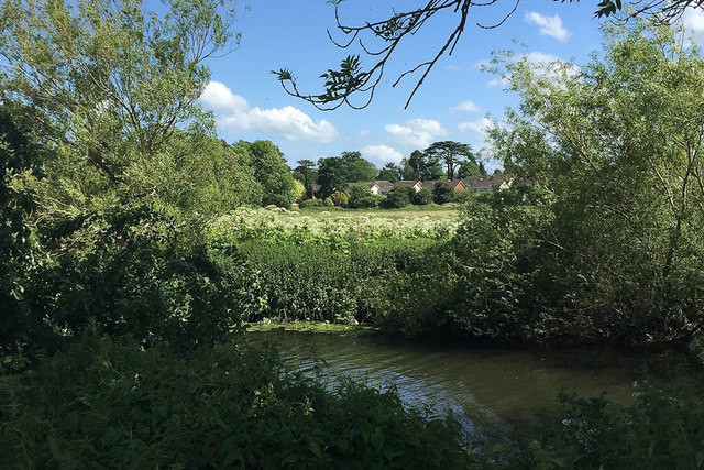 Colony of Giant Hogweed in flower by the River Avon, Myton, Warwick