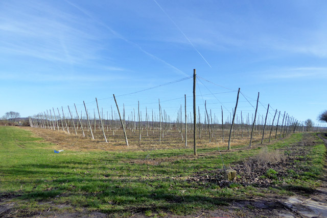 Hop garden, Kit Hill