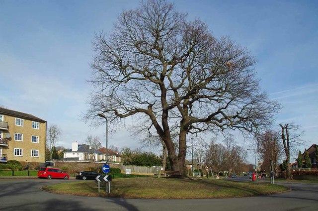 Oak Pollard in Sydenham Avenue