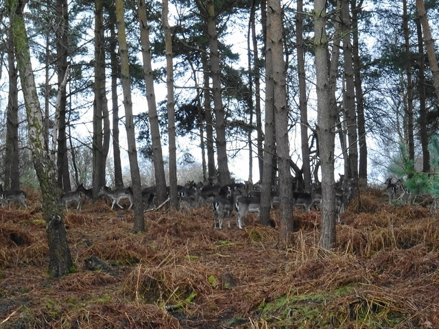 Fallow deer in the old quarry