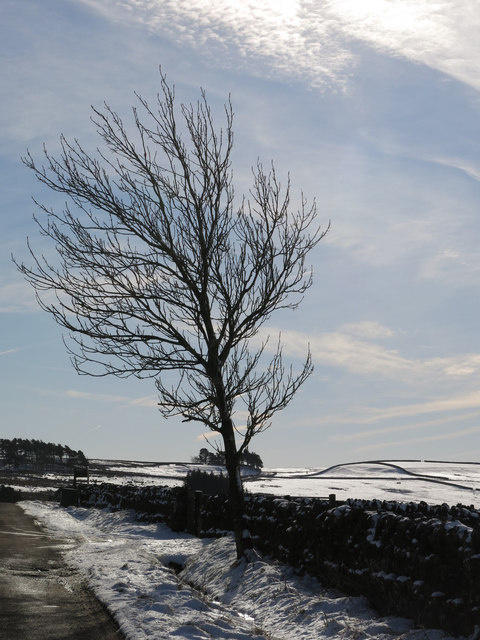 Tree near Scotch Halls