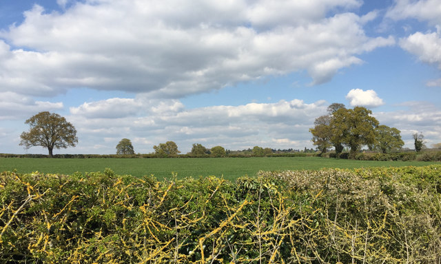 Fields and hedgerow trees north of Milverton