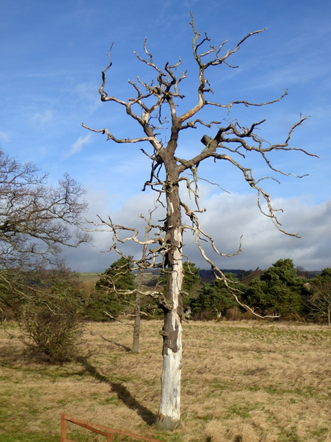 Dead tree at Corbridge