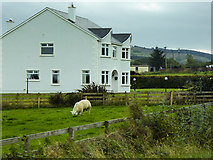 C4642 : Sheep Grazing next to a House at Mullins by David Dixon