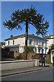 TQ5839 : Monkey Puzzle tree, Upper Grosvenor Rd by N Chadwick