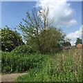 SP2965 : Dying elm sucker, Myton Fields, Warwick by Robin Stott