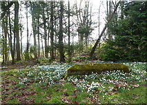 TR0149 : Snowdrops, church of St. Cosmas & St. Damian, Challock by pam fray