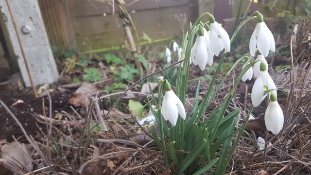 Snowdrops in London N14