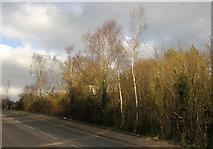 SX9066 : Trees alongside Barton Hill Way, Torquay by Derek Harper