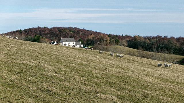 Sheep in the field below Pitlundie