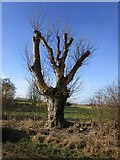 TA1645 : Severely lopped tree on Wassand Balk by Jonathan Thacker