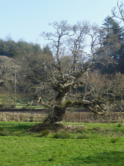 Gnarled old oak tree, Restormel