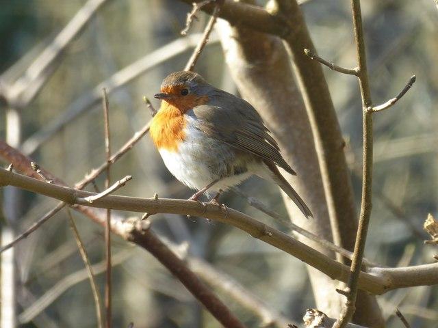 Robin at Restormel