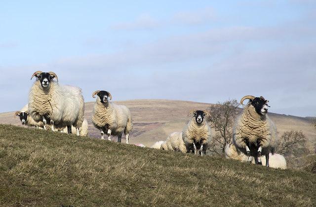 Sheep on Gala Hill