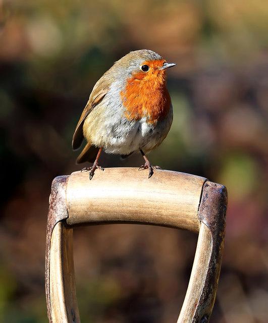 A robin on a spade handle