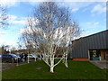 SJ1258 : Ghostly birch trees at Ruthin Craft Centre by Eirian Evans