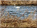NJ7820 : Mute Swan on the Urie by Stanley Howe