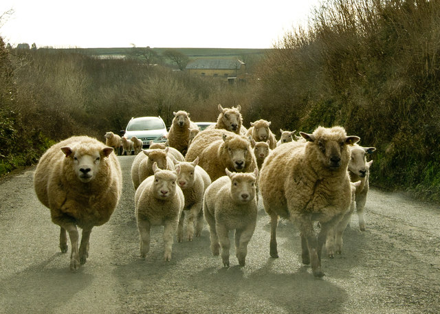 Sheep & lambs heading towards Shop