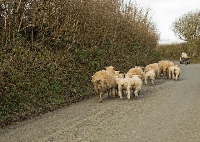 Sheep and lambs heading towards Shop
