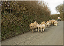 SS2314 : Sheep and lambs heading towards Shop by Roger A Smith