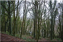 SX4975 : Woodland by N Chadwick