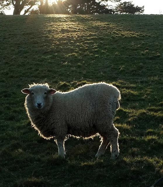 Sheep near Holcombe