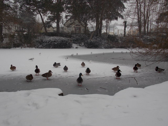 Branksome: ducks on a half frozen Coy Pond