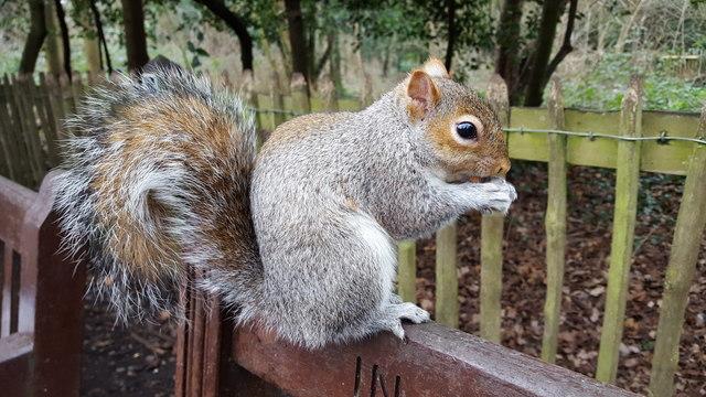 Squirrel, Holland Park