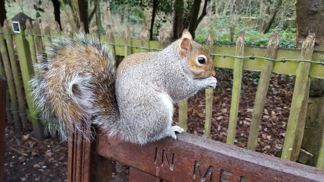 Squirrel, Holland Park