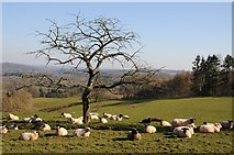 SO6755 : Sheep below a bare tree by Philip Halling