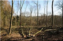 SO6755 : Tree felling in Greenfield Wood by Philip Halling