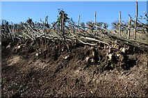 SO6755 : Hedgelaying on the Bromyard Downs by Philip Halling
