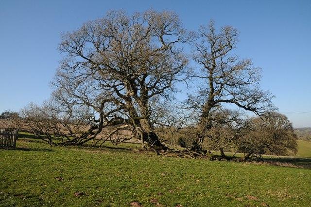 Mature oak trees in Brockhampton Park