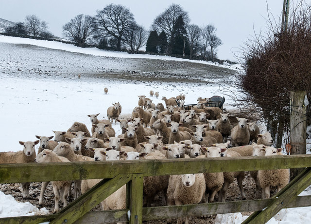 Sheep anxious for feed