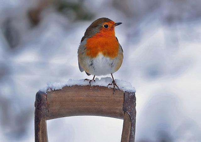 A winter robin