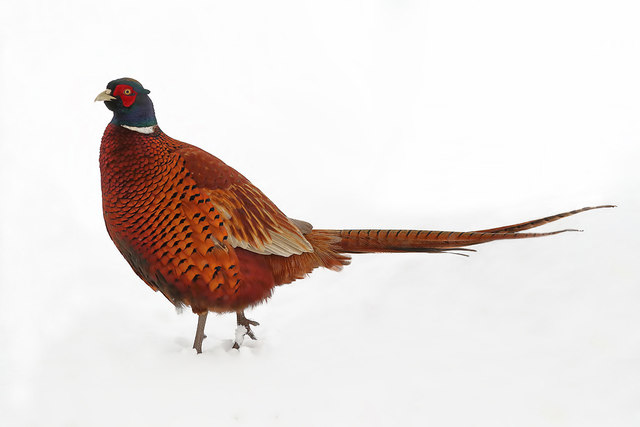 A cock pheasant in my back garden