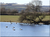 SN6962 : Geese at Maes-llyn by Rudi Winter