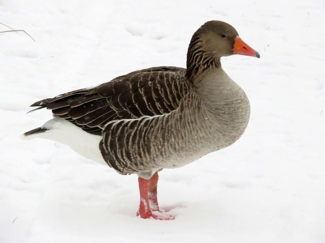 Greylag goose on the Thames Path