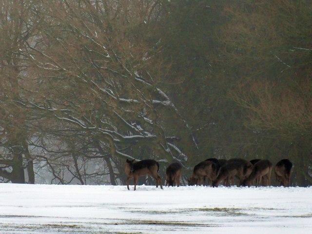 Fallow deer in the snow at Ashridge Estate