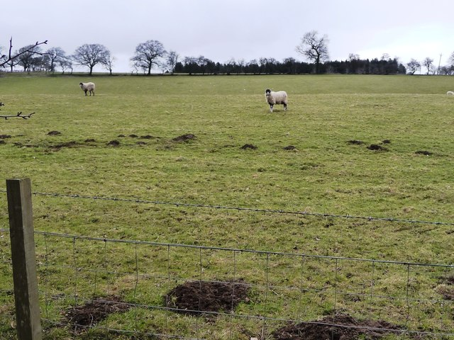 Sheep in a field, north of Hawkswell Lane