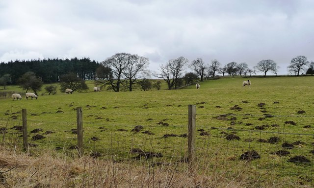 Molehills and sheep, north of Hawkswell Lane