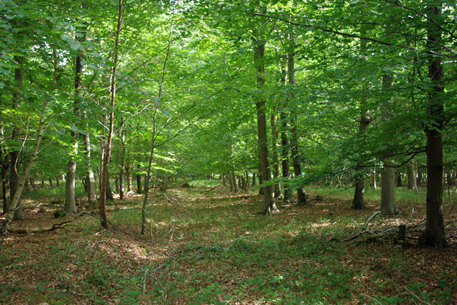 Beech plantation near Poling Corner