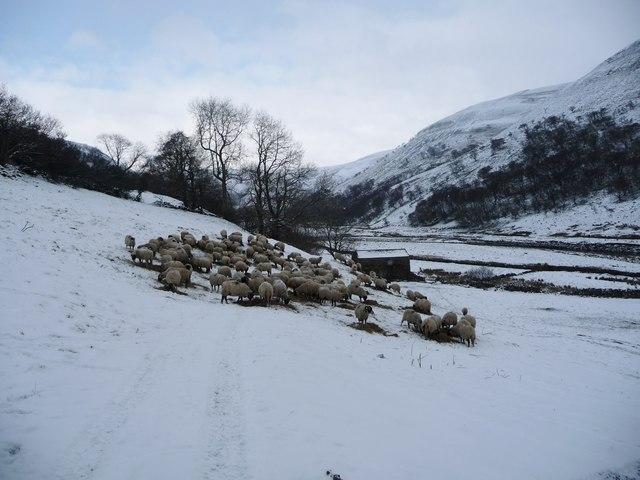 Flock of sheep feeding in Swaledale