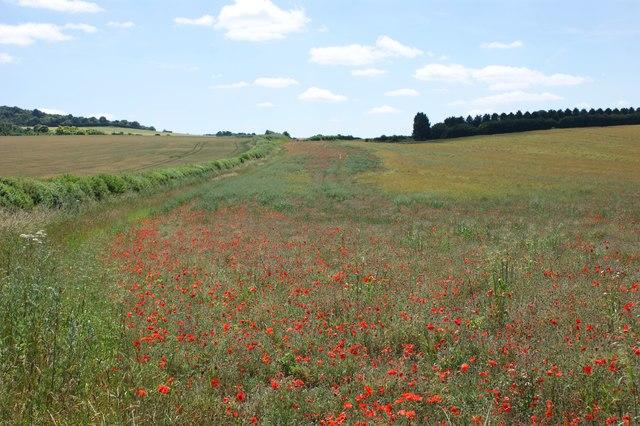 Poppies on an arable field margin near Ewelme