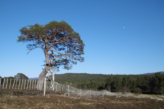 Pine tree, Coille Mhòr by Richard Webb
