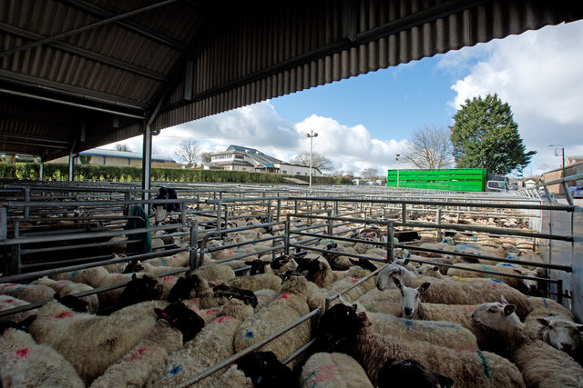 Sheep at South Molton Livestock Market