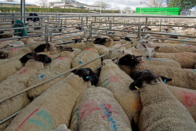 Sheep at South Molton Livestock Market