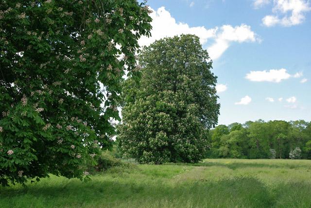 Horse chestnut trees