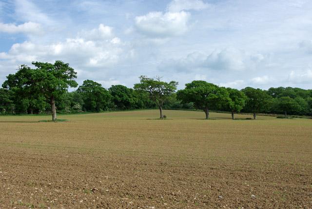 Hedgerow oaks, but no hedge